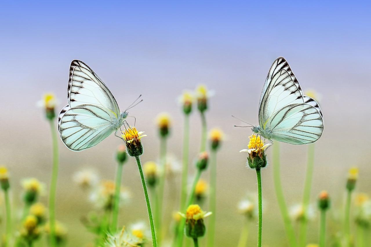 butterflies-1127666_1280